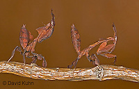 Praying Mantises - Life Cycle