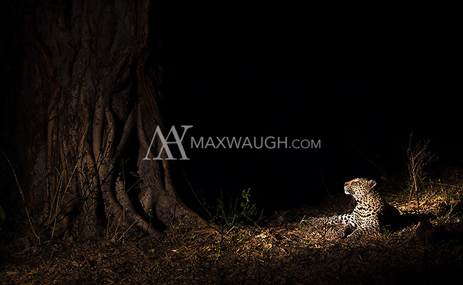 MalaMala may be the best place to see wild leopards on earth.  This female (known as the Dudley Female) had stashed a kill in the tree.