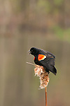 red winged blackbird singing