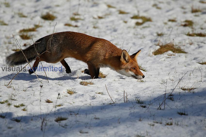 Red Fox (Vulpes vulpes) female stalking prey in winter, France