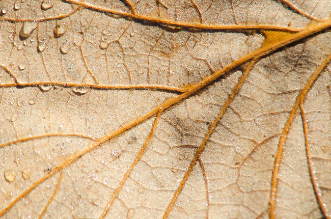 An Oak leaf shows its veins and a few dew drs, Oldfiled Oaks Forest Preserve, DuPage County, Ilinois
