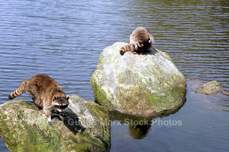 Two Wild Raccoons (Procyon lotor) sitting and standing on Rocks in Lake