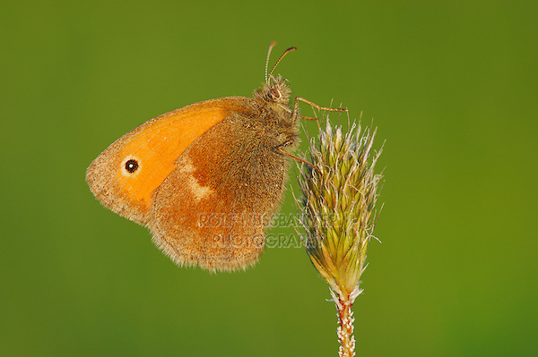 Small Heath (Coenonympha pamphilus), adult perched on grass, Switzerland