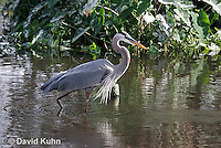 0111-0907  Great Blue Heron Hunting for Prey, Ardea herodias © David Kuhn/Dwight Kuhn Photography