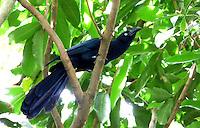 CALI - COLOMBIA, 30-06-2016: Garrapatero, especie de ave presente en el norte de Cali. / Garrapatero, bird species present in north of Cali Photo: VizzorImage / Dario Ramirez / Cont.