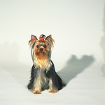 Yorkshire Terrier <br /> <br /> <br /> Shopping cart has 3 Tabs:<br /> <br /> 1) Rights-Managed downloads for Commercial Use<br /> <br /> 2) Print sizes from wallet to 20x30<br /> <br /> 3) Merchandise items like T-shirts and refrigerator magnets