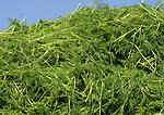 POLAND, Rusiec, herb and spices cultivation and trade, harvest of dill weed / POLEN, Rusiec, Firma Bromex, Vertragsanbau und Handel von Kräutern und Gewuerzen, Dill Ernte
