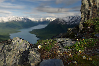 Mountain avens make their brief summer bloom at an eleveaion over three thousand feet with the Kenai Mountains and Kenai Lake resting in beautiful silence in Alaska's Chugach National Forest.