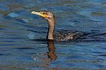 Cormorant Double-crested Cormorant Sanibel Island Florida Close Portrait