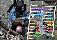 Lemurs at London Zoo stocktake<br /> Annual stocktake of every creature in the zoo, spanning 850 species, postponed from January after a fire in just before Christmas last year, in which a number of animals died, at London Zoo <br /> London Zoo Stocktake photocall, London, England on February 07, 2018.<br /> CAP/JOR<br /> &copy;JOR/Capital Pictures
