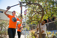 Trimming an orange tree at Solano Canyon Community Garden in Los Angeles.<br /> Hundreds of Occidental College students, faculty, staff, administrators and alumni volunteer on projects that range from canvassing, gardening and food harvesting to library sorting, food distribution and more at 20 community partners across Los Angeles as part of the annual MLK Day of Service, Feb. 1, 2014. (Photo by Marc Campos, Occidental College Photographer)