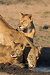 Lioness (Panthera leo) with two cubs, drinking, Kruger National Park, South Africa , May 2015