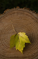Yellow maple leaf on freshly cut tree stump with growth rings.