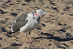 Western gull with Budweiser can on neck
