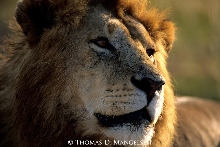 Portrait of Lion (Panthera leo) Serengeti National Park - Tanzania