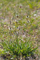 Spitz-Wegerich, Spitzwegerich, Wegerich, Plantago lanceolata, English Plantain, Ribwort