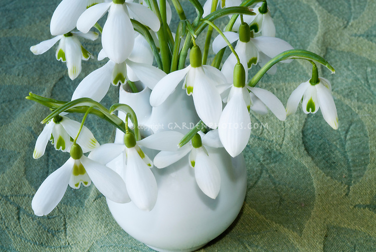 Galanthus snowdrops bulbs flowers in vase picked, including Armine, Scharlockii, Comet