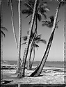 Coconut Tree on the East side of Oahu, Hawaii.