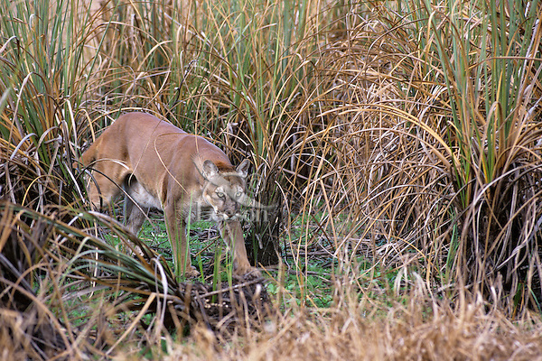 Florida Panther (Puma concolor coryi) walking through everglades sawgrass in Southern Florida.  Endangered species.