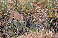 Florida Panther (Puma concolor coryi) walking through everglades sawgrass in Southern Florida.  Endangered species.