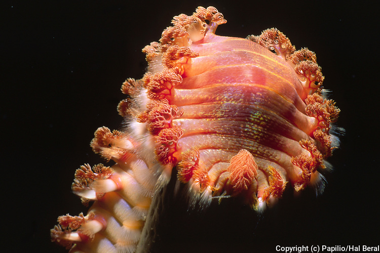 Bearded Fireworm - closeup (if touched it's bristles cause a bad burn).(Hermodice carunculata).Bonaire, Netherlands Antilles