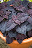 (Solenostemon) Coleus 'Dark Chocolate' purple foliage leaves, annual plant in containef
