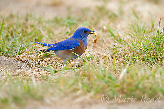 Western Bluebird (Sialia mexicana) male picks up a mealworm from the ground, Orange County, California