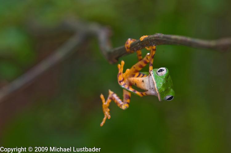 Monkey Treefrog (Phyllomedusa tomopterna)