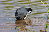 Coot (Fulica atra) Preening itself whilst keeping an eye on it's territory. They are aggressively territorial during the breeding season, Lancashire