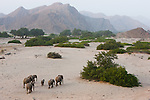 Namibia;  Namib Desert, Skeleton Coast,  desert elephant breeding herd (Loxodonta africana) walking in dry river bed