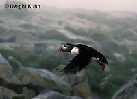 MC26-001z  Atlantic Puffin - flying at Machias Seal Island, Bay of Fundy - Fratercula arctica