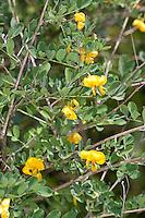 Gelber Blasenstrauch, Gewöhnlicher Blasen-Strauch, Colutea arborescens, Bladder Senna