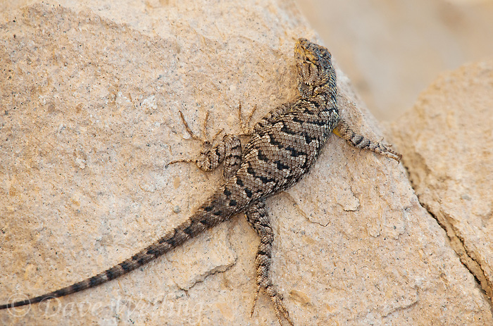 425900016 a wild male great basin fence lizard sceloporus occidentalis longipes perches on a rock along chalk cliffs road bishop california united states