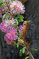 389030002 a wild salt marsh moth caterpillar estigmene acrea on pink wildflowers in the texas hill country texas