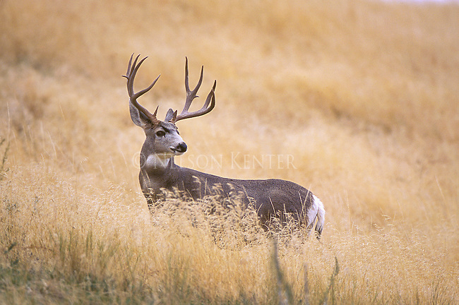 Mule deer buck in open grassland in Montana
