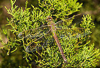 339430010 a wild female common green darner perches on a juniper at southeast regional park in austin travis county texas united states
