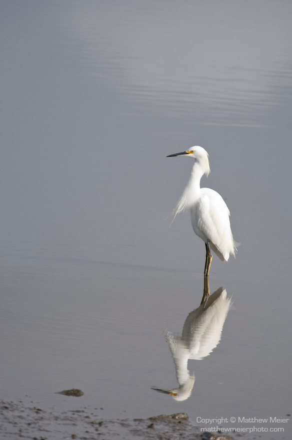San Diego River, San Diego, California; a Snowy Egret (Egretta thula) bird and it's reflection in the San Diego River, distinguished from the great egret by its smaller size, black bill and yellow feet