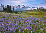 Mount Rainier Natl Park,  WA  <br /> Peaks of the Tatoosh Range above a lush meadow of alpine wildflowers on Mazama ridge