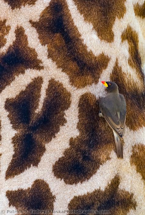 Masai giraffe and Yellow-billed Ox Pecker bird, Serengeti National Park, Tanzania, East Africa