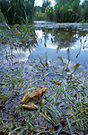 Common Frog, Rana Temporiria, Returning to Pond, wide angle showing whole pond and reeds, waters edge.United Kingdom....