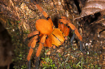 Hunting spider - orange jungle tropical rainforest