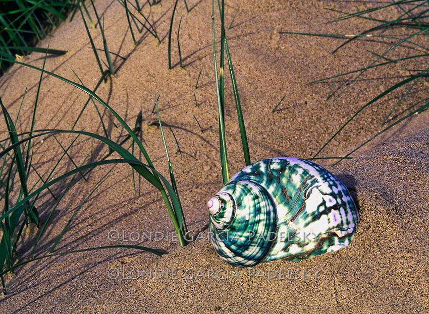 Turban seashell