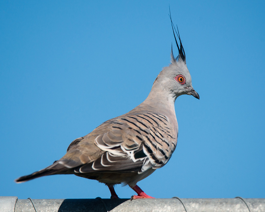 Crested Pigeon, Ballina, New South Wales.