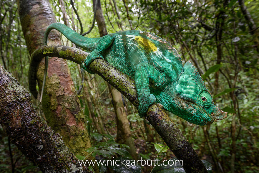 Adult male Parson's Chameleon (Calumma parsonii) climbing in rainforest understorey. Andasibe-Mantadia National Park, eastern Madagascar.