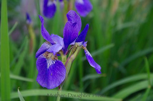 Siberian Irises blooming in community garden, Maine, USA