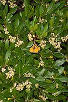 Westlicher Erdbeerbaum, Erdbeer-Baum, Arbutus unedo, Strawberry Tree, Arbousier commun