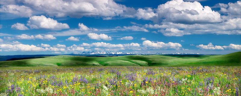 Wildflowers on Zumwalt Prairie with Seven Devils Mountains, ID