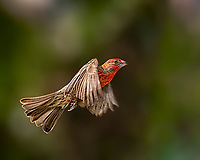 Bright Male House Finch in flight against green background