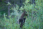 moose, cow, head, muzzle, Alces alces, wildlife, browsing, willow, green, summer, August, nature, afternoon, Kawuneeche Valley, Rocky Mountain National Park, Colorado, USA