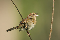 578650004 wild male bachmans sparrow aimophila aestivalis perched on branch about to sing jasper county texas